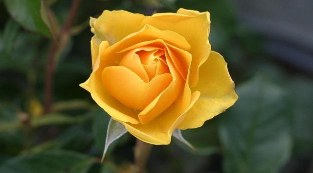 rose-113735_640