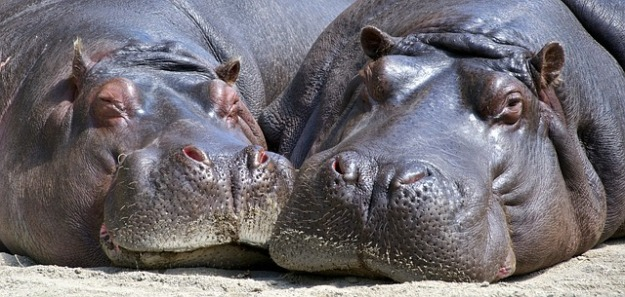 hippo-783522_640