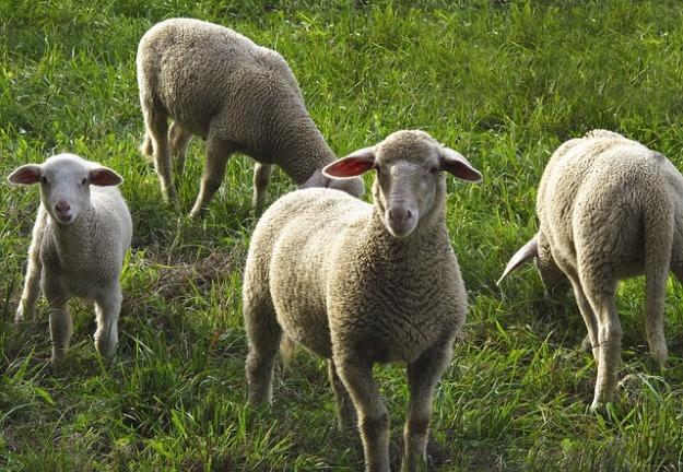 sheep-2852150_640.jpg