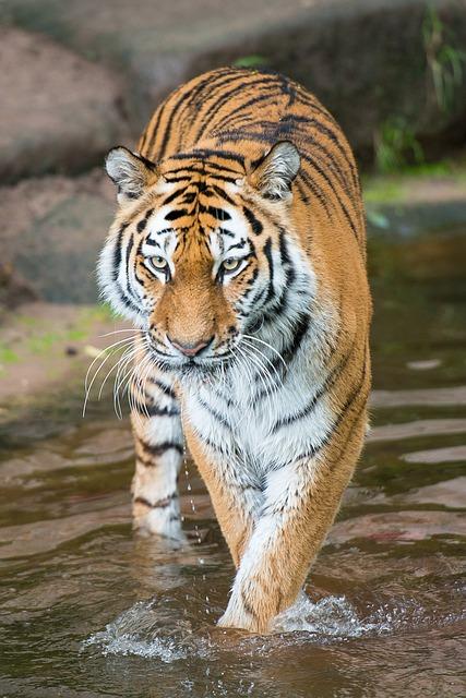 tiger-2940963_640