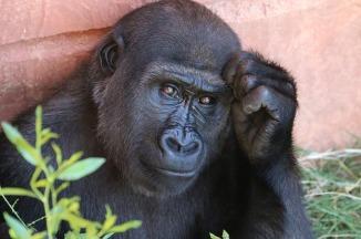 gorilla-1031235_640