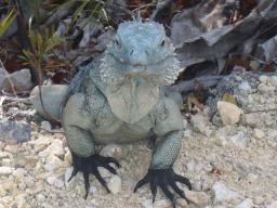 iguana-2322212_640