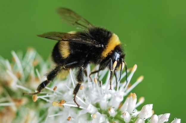 bee bumblebee insect macro